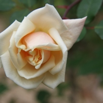 Photograph of a safrano rose in the gardens at Vaucluse House