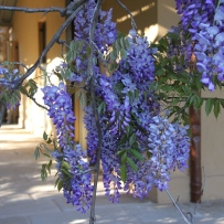 Photograph of wisteria growing on the verandah of Vaucluse House