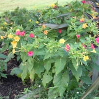 Photograph of mirabilis jalapa/marvel of peru in the gardens at Vaucluse House