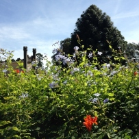 Photograph of plumbago and cape honeysuckle growing in the gardens at Vaucluse House