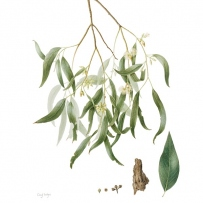 Watercolour botanical illustration showing Eucalyptus tereticornis (Forest red gum) created by Cheryl Hodges, 2015