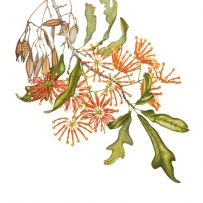 Botanical watercolour illustration of Stenocarpus sinuatus (Firewheel tree) created by Angela Lober, 2008