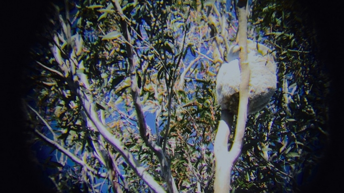 Shot of gum tree done in vignette style, with furry back of large koala visible in tree fork.