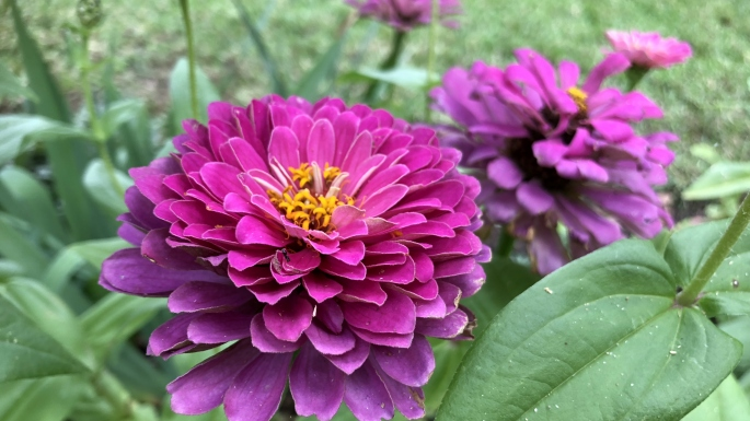 A bright purple flower which has small yellow disk florets in its centre