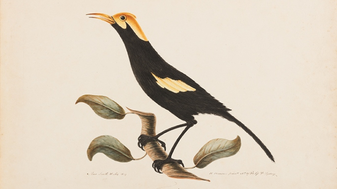 Illustration of black bird with golden crown and shoulders.