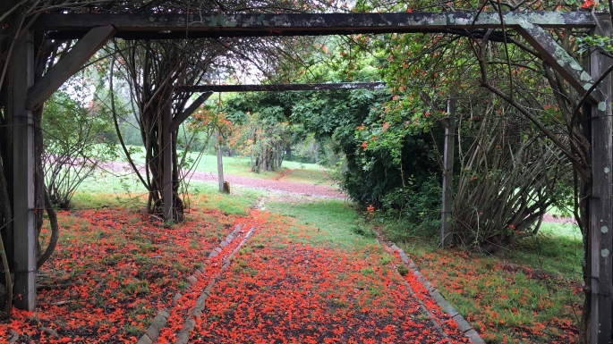 Fallen Tecoma flowers create a bright red carpet at Rouse Hill House and Farm