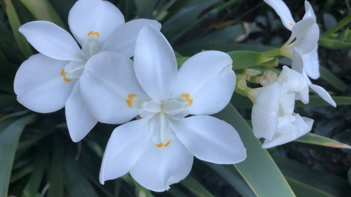 The flowers of Dietes robinsoniana are a pure white with yellow markings towards the centre