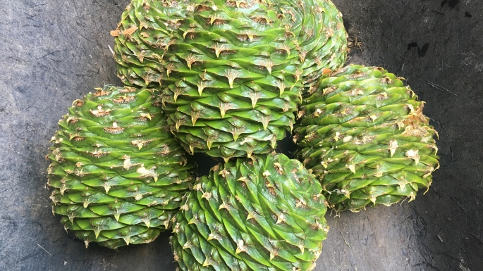 A wheel barrow full of Bunya cones from the Bunya Pine at Vaucluse House