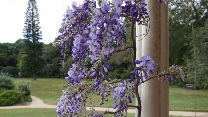 The Wisteria starting to bloom on the veranda of Vaucluse House