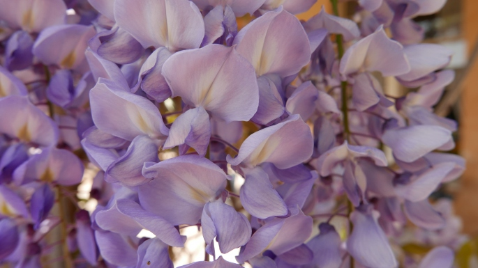 Close up of the Wisteria sinensis at Vaucluse house showing the lilac purple hues.