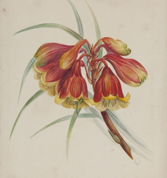 Blandfordia grandiflora, watercolour by Gertrude Lovegrove, c1888