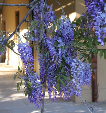 Photograph of wisteria and shaded verandah