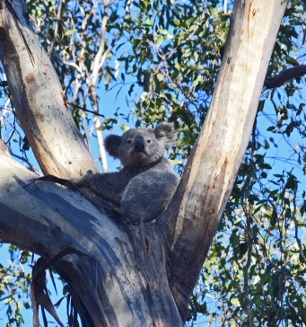 Koala sitting in fork of gum tree.