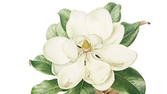 White magnolia flower illustration