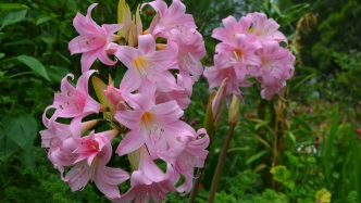 Pink and white flowers of the Belladonna or naked lady Lilly
