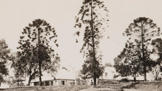 Bunya pines in front of Elizabeth Farm
