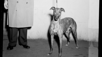 Black and white photo of greyhound on leash being held by man, whose coat and trousers are all that is visible.