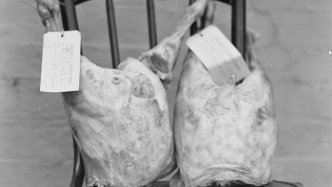 Black and white photo of two hams on black wooden chair, each ham is tagged:  EXHIBITS - To be kept for evidence.