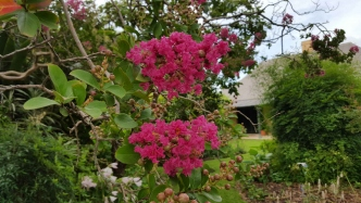 Pink racemes of crepe myrtle against the Elizabeth Farm homestead