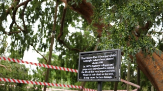 A sign explaining about the Elizabeth Farm Elm Tree and when the support props were installed