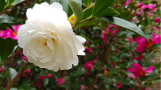 A pure white camellia sasanqua 'early pearly' hangs carefully on the end of the branch