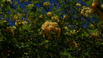 Yellow Banksia Rose on the arbour at Rouse Hill House and Farm