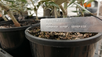 Plastic pots of Olives taken as cuttings from the first Australian olive at Elizabeth Farm