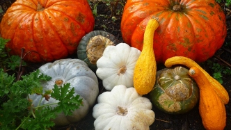 Photograph of a group of orange, green and white pumpkins on a dark background.