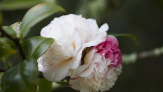 Close-up of a cream camellia with a pink splotch
