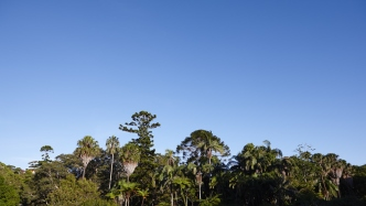 Tall bunya pines and palm trees photographed against the sky