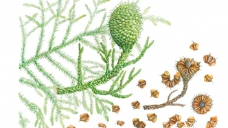 Botanical watercolour illustration of Araucaria cunninghamii (Hoop pine) created by Marta Salamon, 2013.