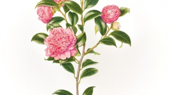 Botanical watercolour illustration of Camellia japonica 'Cleopatra' created by Beverly Allen, 2010