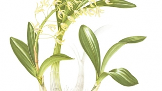 Watercolour botanical illustration of Dendrobium speciosum (Rock lily) created by Elaine Musgrave, 2015.