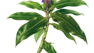 Botanical watercolour illustration of Dichorisandra thyrsiflora (Blue ginger) created by Beverly Allen, 2008