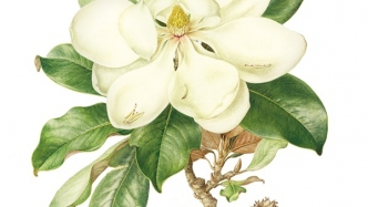 Watercolour botanical illustration of Magnolia grandiflora (southern magnolia) created by Jenny Phillips, 2015