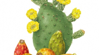 Watercolour botanical illustration of Opuntia ficus-indica (Prickly pear) created by Elisabeth Dowle, 2015