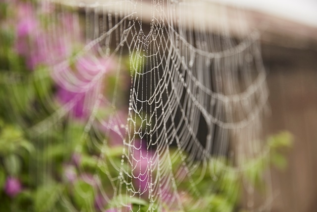 Photograph of a cobweb in the early morning fog at Rouse Hill House & Farm