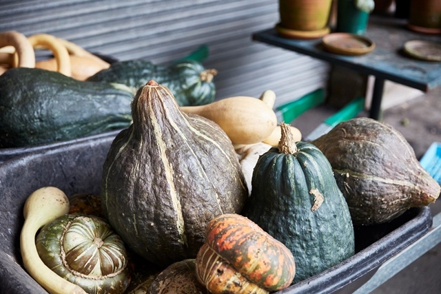 Photograph of harvested heirloom pumpkins in a wheelbarrow in the gardens at Vaucluse House