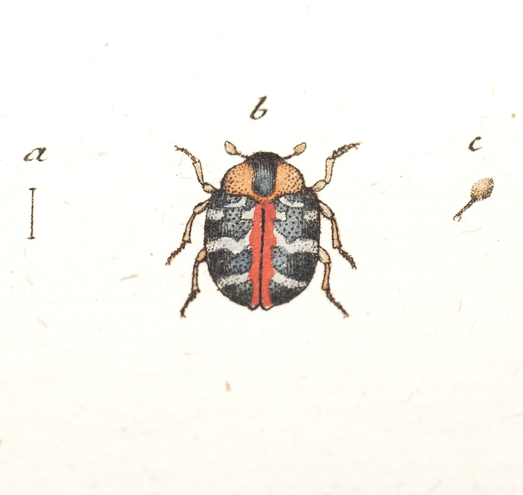 Beetle illustration