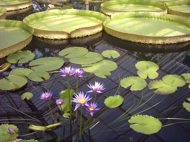 Big round green Waterlily platters float on the surface of the water with some purple flowers in the foreground.