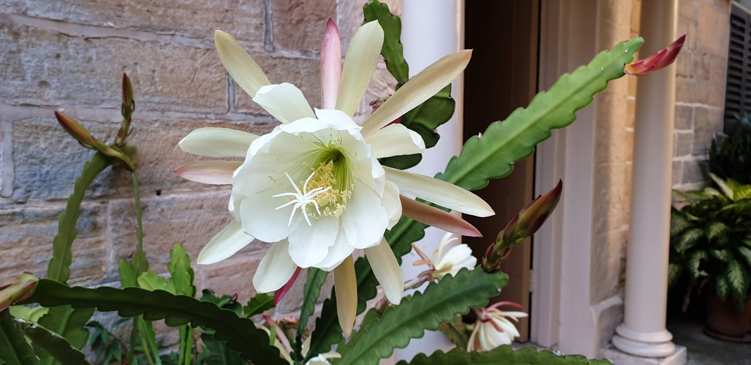 Large white flower with central cup and spiky radiating petals.
