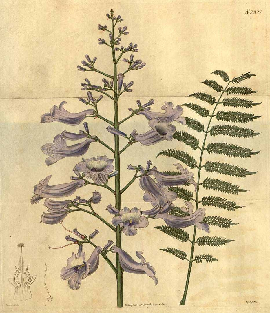 Hand-coloured illustration of jacaranda flower and foliage