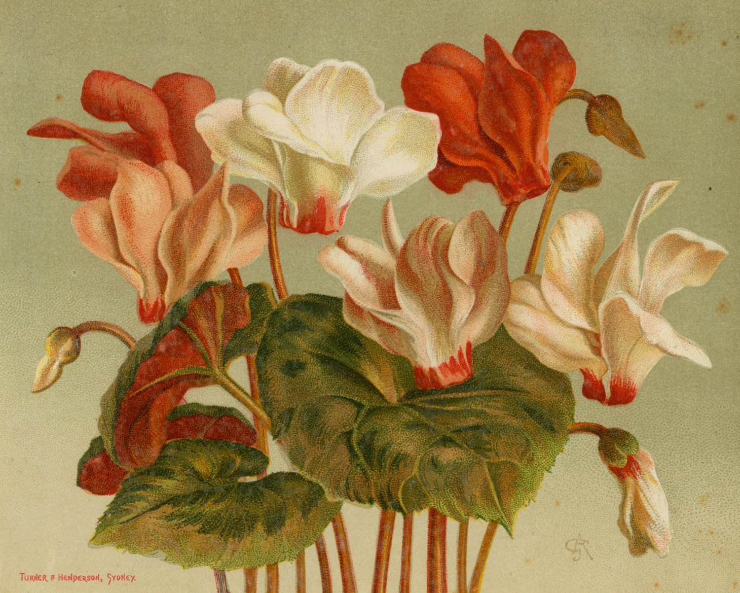 Plate 98: Cyclamens, drawn by Guglielmo Autoriello, in H.A. James Hand-book of Australian horticulture published: Turner & Henderson, Sydney, 1892.