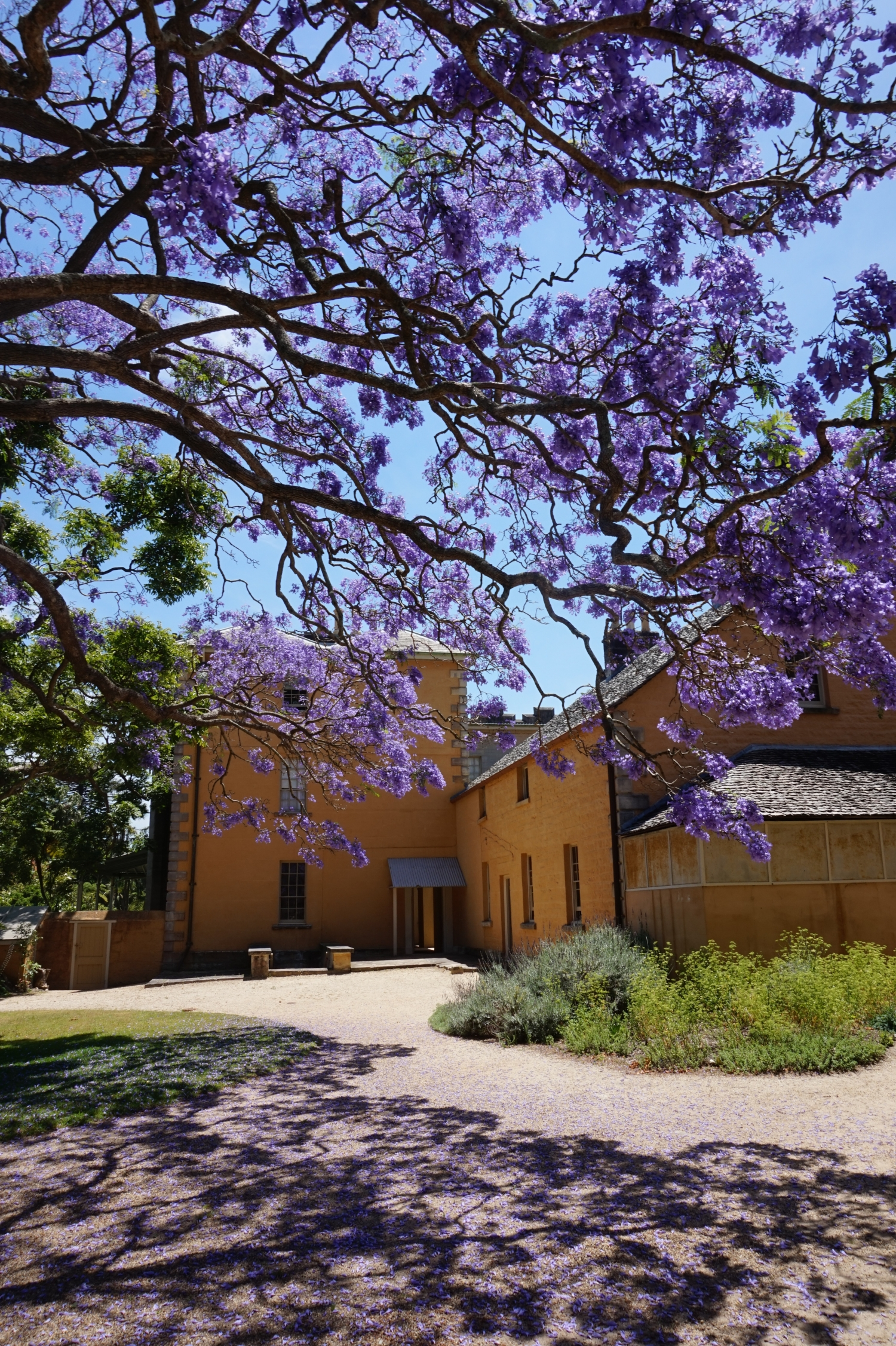 A jacaranda in flower in the courtyard at Vaucluse House