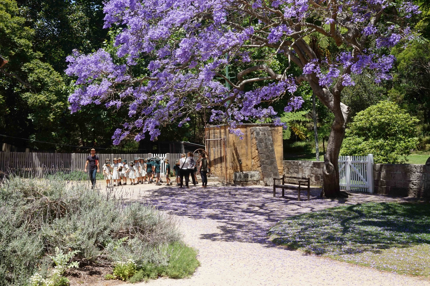A school group beneath the jacaranda in the courtyard at Vaucluse House