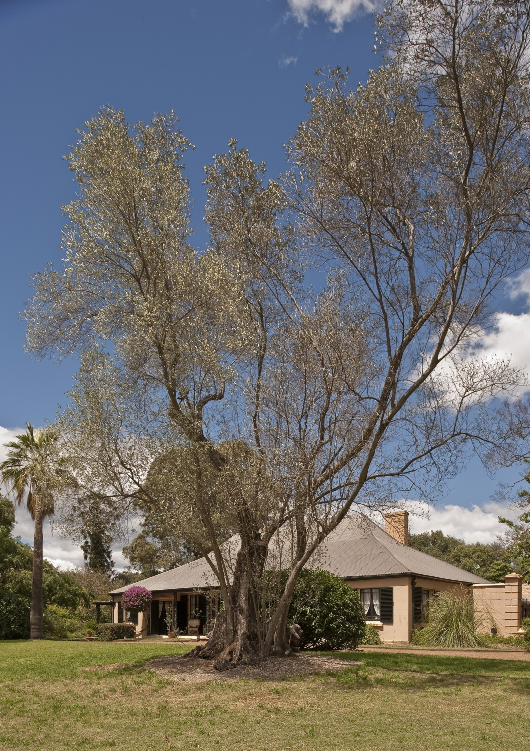 Photograph of an olive tree in front of the Elizabeth Farm homestead