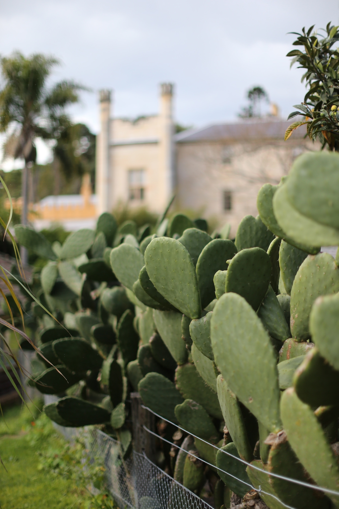 Prickly pear hedge with Vaucluse House in the background