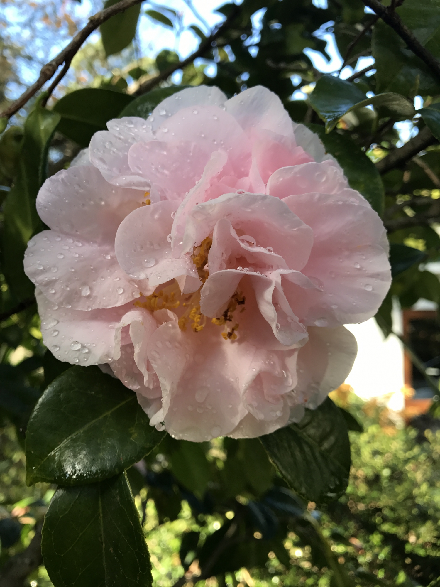 Water droplets sit on a modern camellia variety 'Easter Morn'