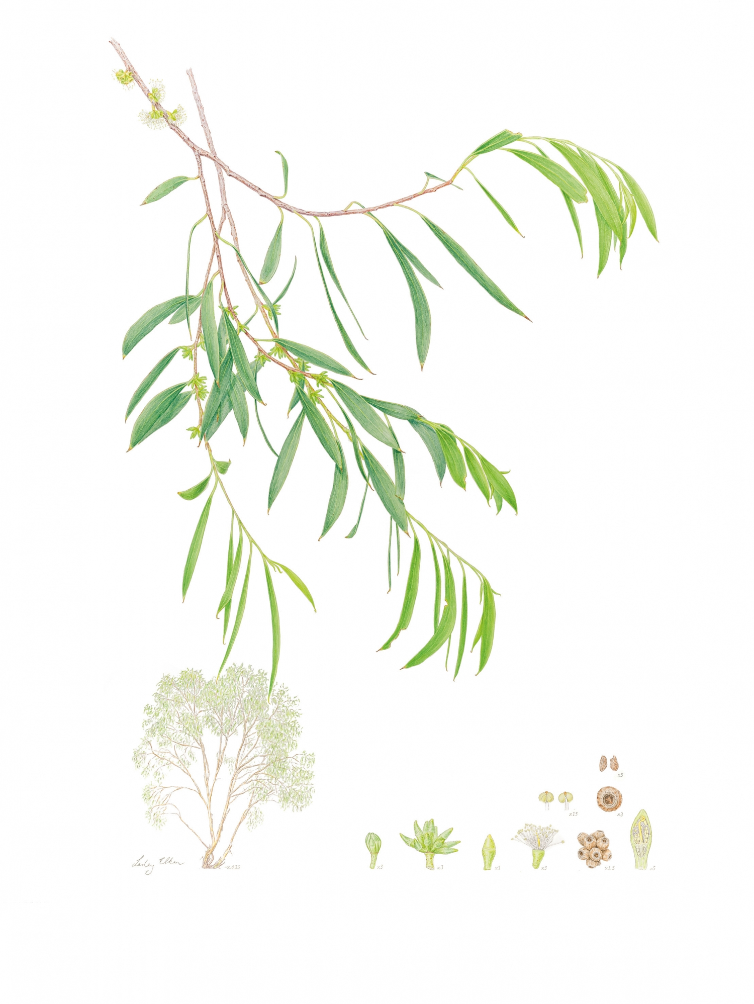 Botanical painting of Eucalyptus copulans by Lesley Elkan.