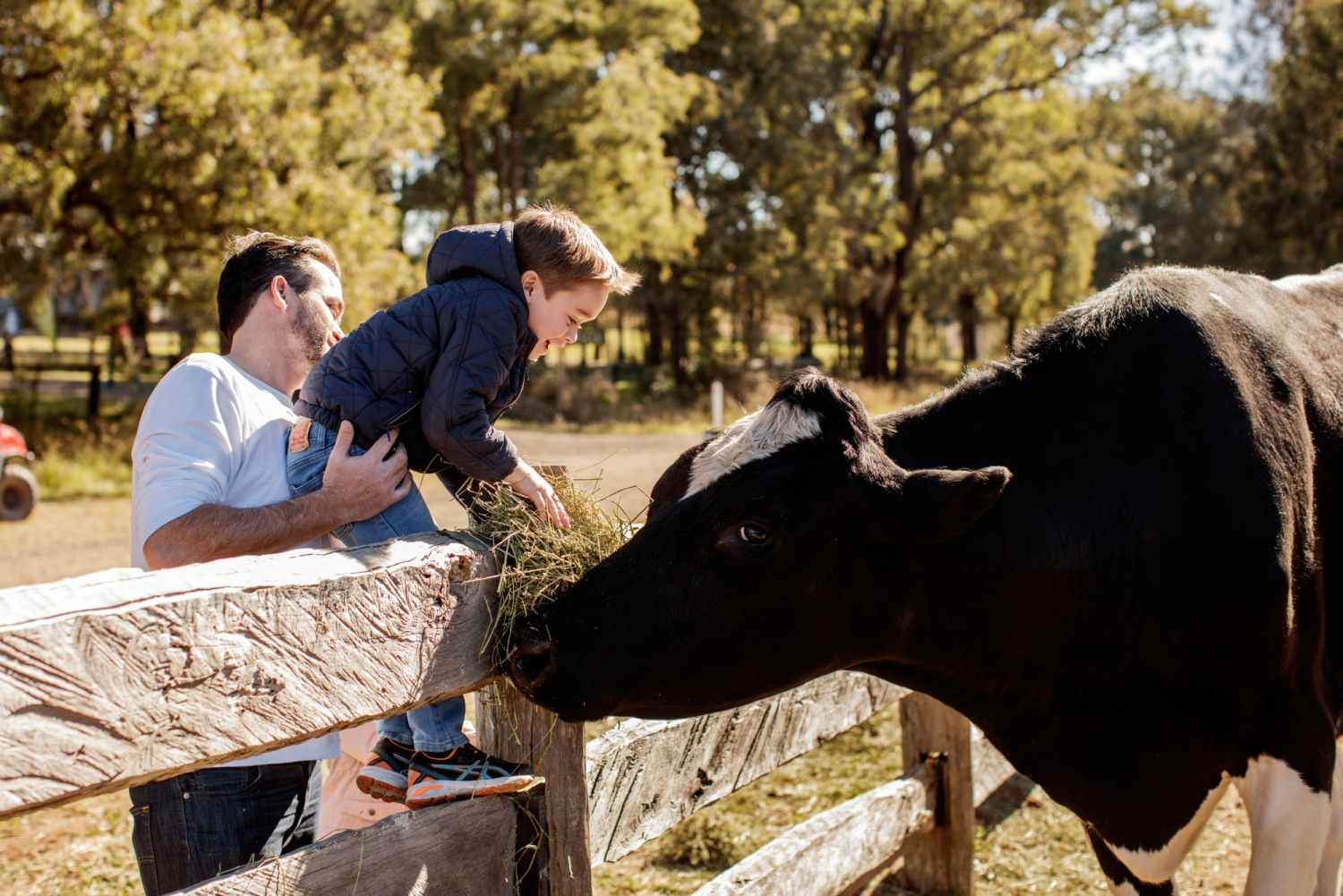 Child being held up by adult to feed cow over fence.